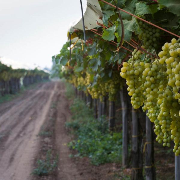 White eating grape vineyard in Puglia, Italy