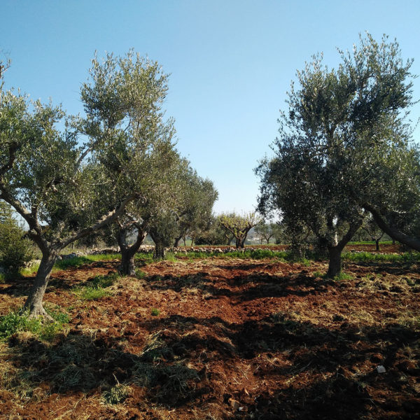 Olive Trees Ready for Harvest